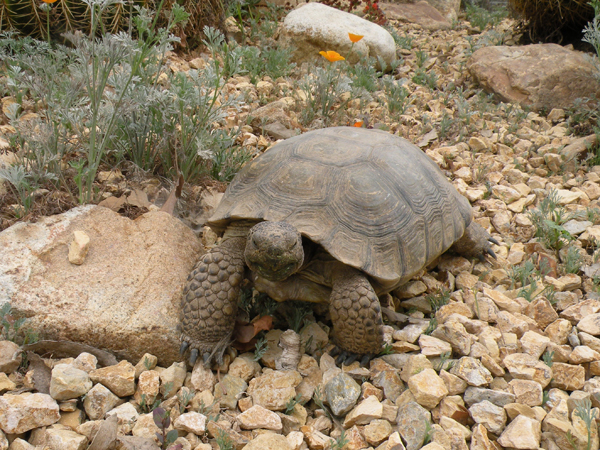 Desert Tortoise_Nurse Betty_web.jpg